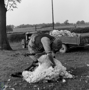 Sheep Shearing, Sawley
